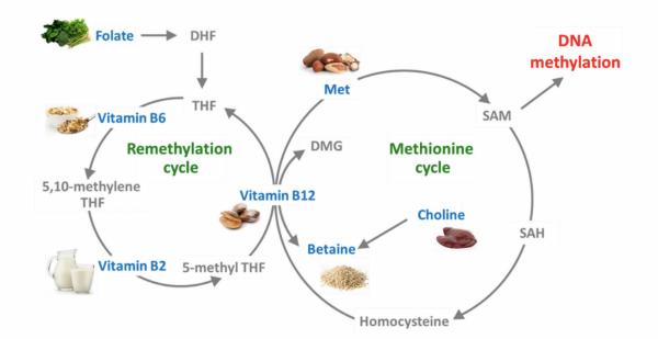 methylering cyclus